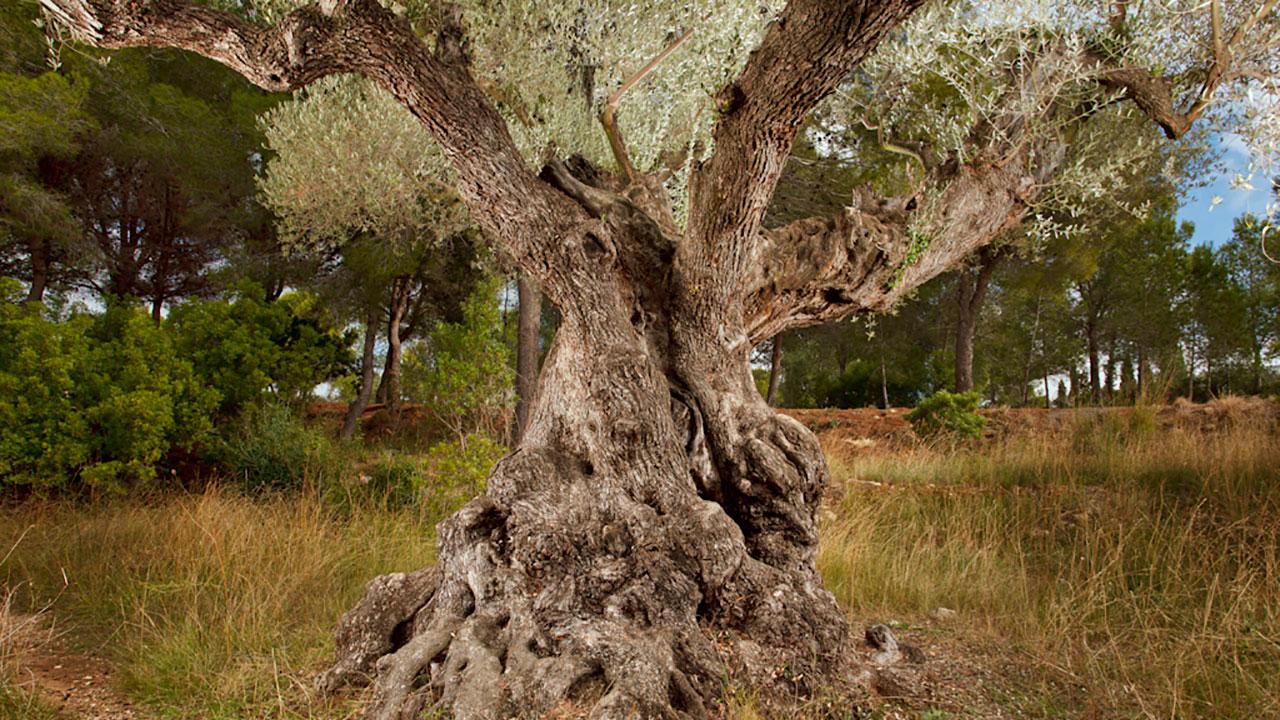 olivo-milenario